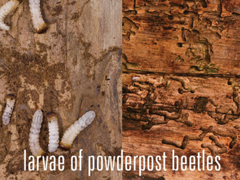 Larvae of powderpost beetles and the damage they cause to wood